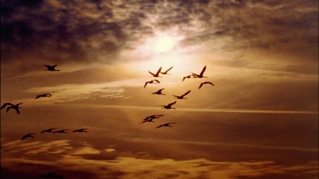 cranes fly across a blazing orange sky. - vogelschwarm stock-videos und b-roll-filmmaterial