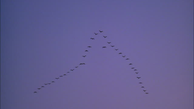 Cranes fly in formation in a blue golden-hour sky.