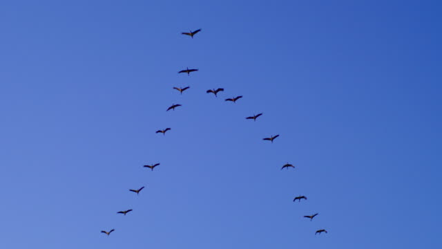 cranes flying in v-formation against clear blue sky - formation flying stock videos & royalty-free footage