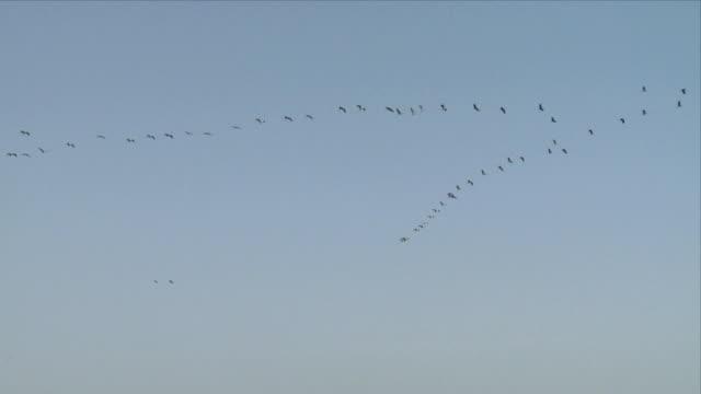 WS LA Cranes flying in v-formation / Hula, Galilee, Israel
