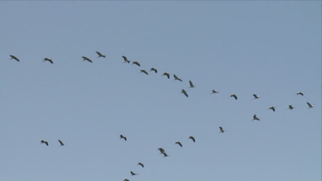 WS LA Cranes flying in v-formation / Hula, Galilee, Israel