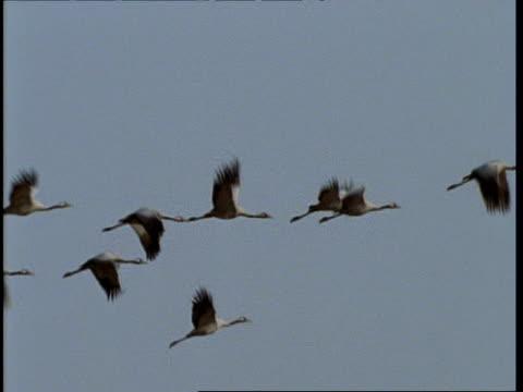 ms cranes in flight, gujarat, india - eurasischer kranich stock-videos und b-roll-filmmaterial