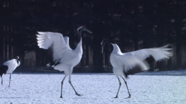 Cranes Performing Courtship Dance
