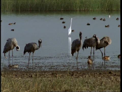 ms cranes standing in shallows, ducks and egret in water, gujarat, india - eurasischer kranich stock-videos und b-roll-filmmaterial