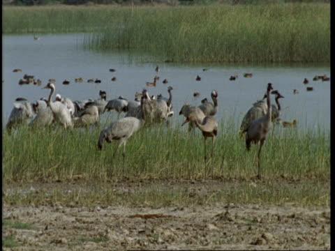 ms cranes standing in shallows, feeding, gujarat, india - eurasischer kranich stock-videos und b-roll-filmmaterial