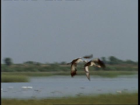 ms/wa cranes taking off, circling and landing again, gujarat, india - クロヅル点の映像素材/bロール