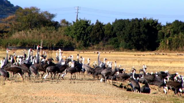 HD: Cranes (video)