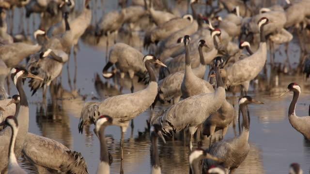 cranes - flock of birds stock videos & royalty-free footage
