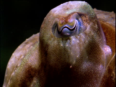 crash zoom onto w-shaped cuttlefish eye - cuttlefish stock videos and b-roll footage
