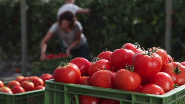 cu crate of organic tomatoes, man and woman working in background / brodowin, brandenburg, germany  - picking harvesting stock videos and b-roll footage