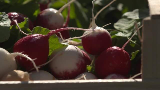 vidéos et rushes de crate of radishes in vegetable market, uk - radis