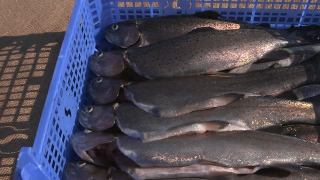 crate of rainbow trout on aquaponics farm, uk - medium group of objects stock videos & royalty-free footage