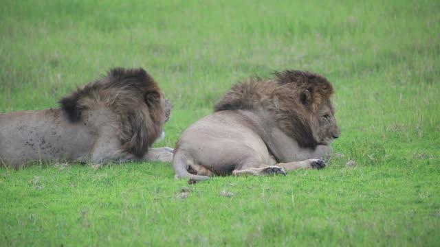 vídeos y material grabado en eventos de stock de crater 2 lion male, 1 licking paw - lamer