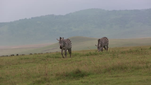 crater 2 zebras walking to camera - wiese video stock e b–roll