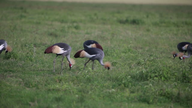 crater crowned cranes - wiese video stock e b–roll
