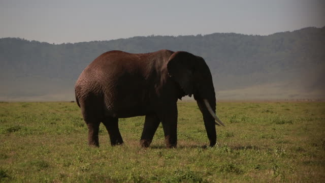 ngorongoro crater elephant - wiese stock videos & royalty-free footage