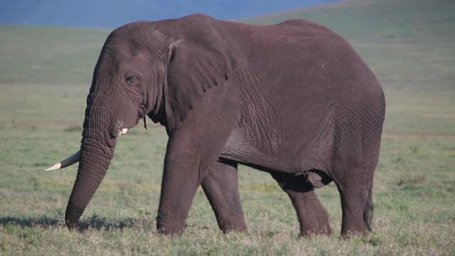 ngorongoro crater elephant walking alone, missing one tusk - wiese stock videos & royalty-free footage