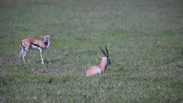 crater gazelle preening, walking - wiese video stock e b–roll