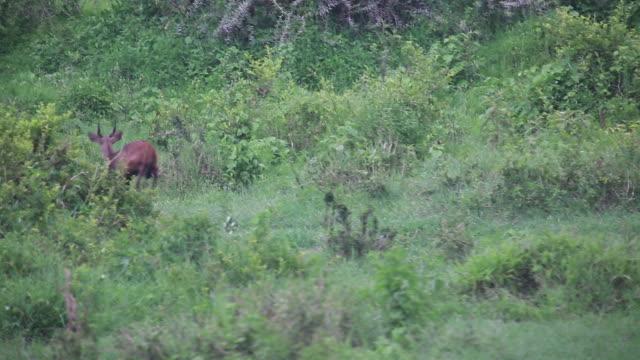 crater gazelle runs away - wiese video stock e b–roll