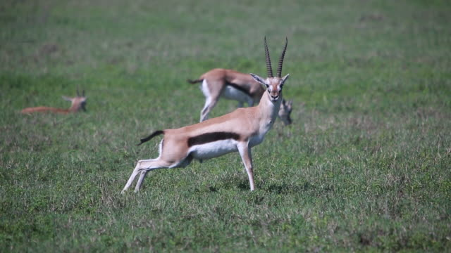stockvideo's en b-roll-footage met crater gazelle - wiese