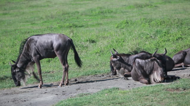 ngorongoro crater group of wildebeest - 四匹点の映像素材/bロール