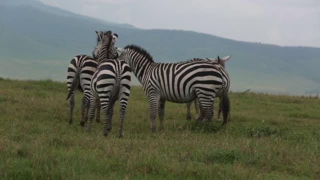 vidéos et rushes de crater herd of zebras - wiese