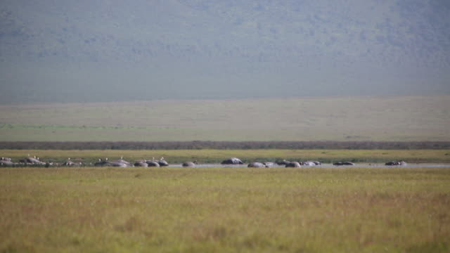 ngorongoro crater hippos in distance - wiese stock videos & royalty-free footage