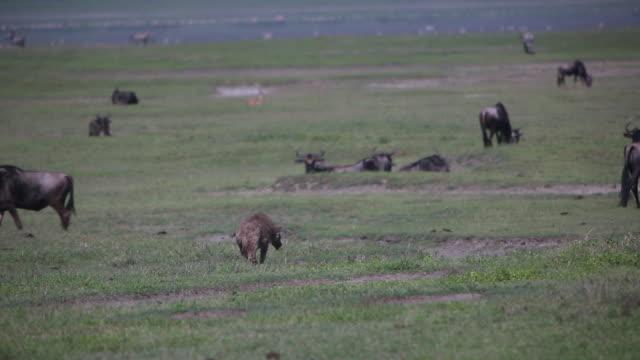 ngorongoro crater hyena among wildebeest - antilope stock-videos und b-roll-filmmaterial