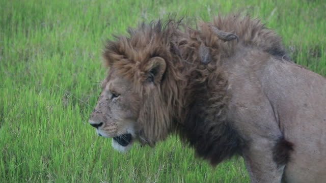 stockvideo's en b-roll-footage met crater lion male stands up, lays down - wiese