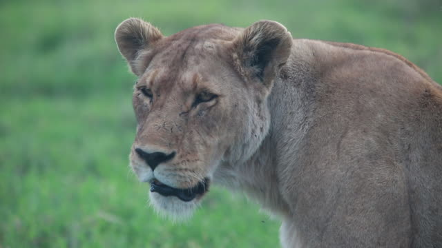 stockvideo's en b-roll-footage met crater lioness face cu - wiese