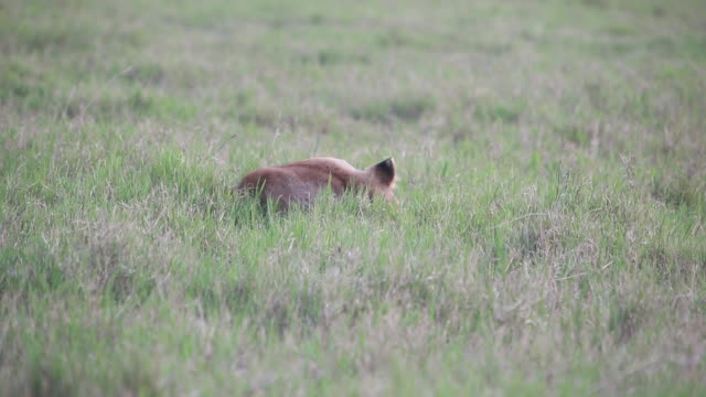 stockvideo's en b-roll-footage met crater lioness yawning head above grass - wiese