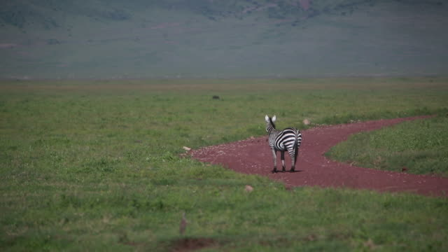 ngorongoro crater lone zebra in road - wiese stock videos & royalty-free footage