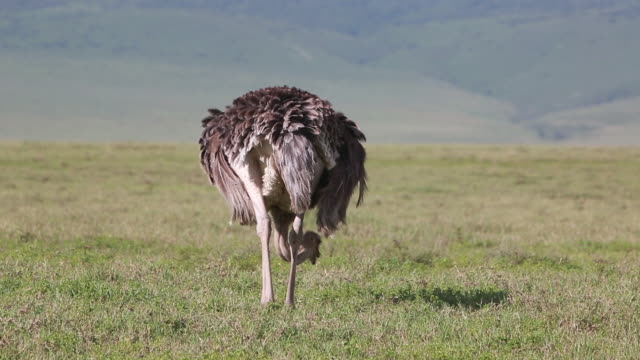 crater ostrich eating - wiese stock videos & royalty-free footage