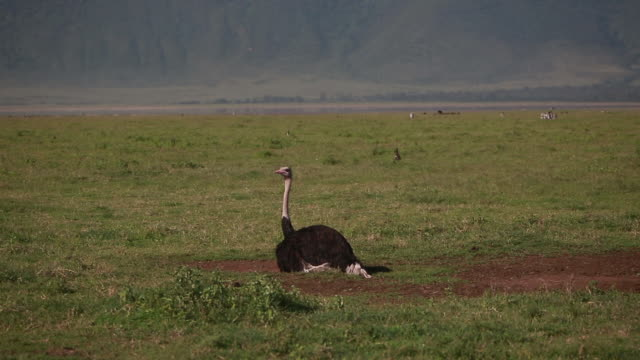 ngorongoro crater ostrich laying down - reclining stock videos & royalty-free footage