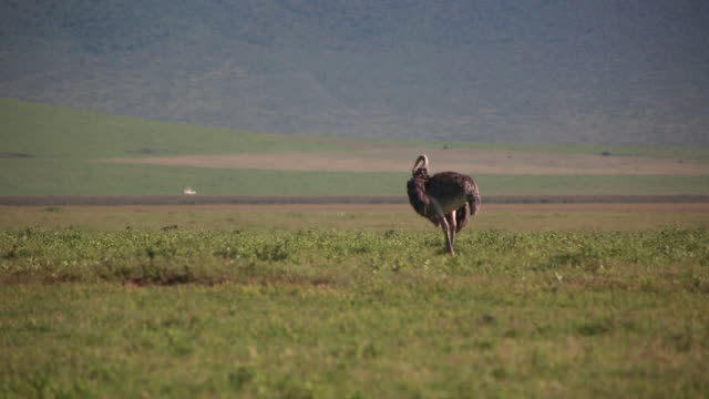 ngorongoro crater ostrich preening - wiese stock videos & royalty-free footage