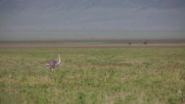 ngorongoro crater ostrich - wiese stock videos & royalty-free footage