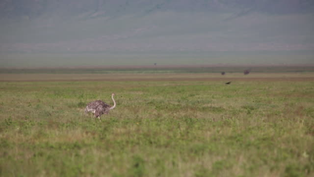 stockvideo's en b-roll-footage met ngorongoro crater ostrich - wiese