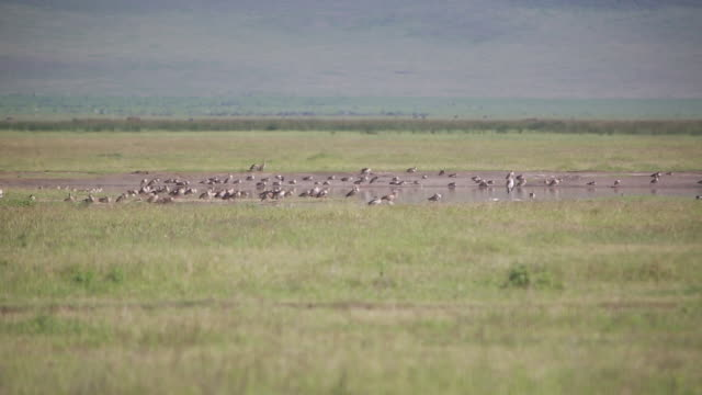 ngorongoro crater pond with birds - wiese stock videos & royalty-free footage