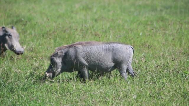 ngorongoro crater warthog - wiese stock videos & royalty-free footage