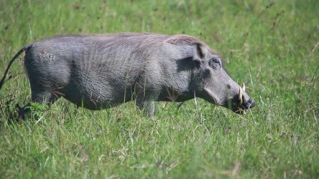 vídeos de stock, filmes e b-roll de ngorongoro crater warthog - javali africano