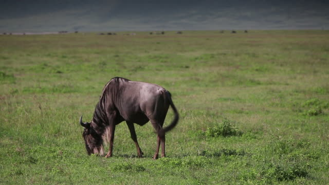 stockvideo's en b-roll-footage met ngorongoro crater wildebeest grazing - wiese