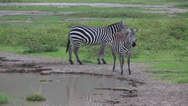 stockvideo's en b-roll-footage met crater zebras by pond 2 - wiese