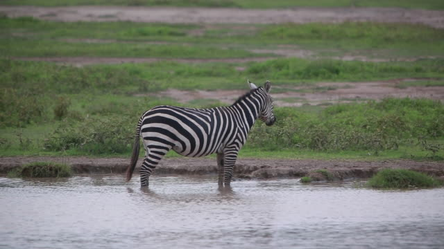 crater zebras in, by pond 3 - wiese video stock e b–roll