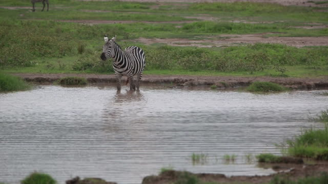 stockvideo's en b-roll-footage met crater zebras in, by pond - wiese
