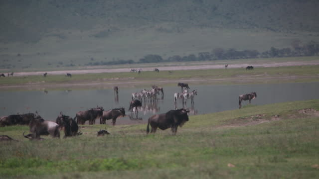 stockvideo's en b-roll-footage met crater zebras, wildebeest in pond 2 - wiese