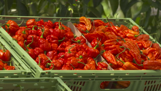 crates of scotch bonnet chillies in greenhouse, uk - pepper vegetable stock videos & royalty-free footage