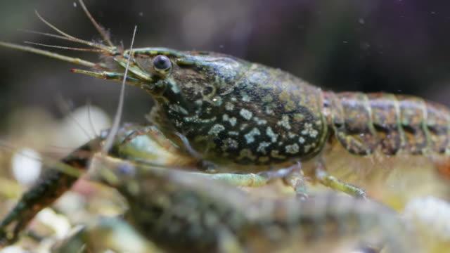 crawfish - flußkrebs tier stock-videos und b-roll-filmmaterial