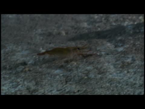 pan crawfish walking on sea bottom - tierisches exoskelett stock-videos und b-roll-filmmaterial
