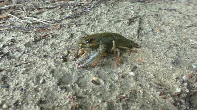 krabbeln crawfish - flußkrebs tier stock-videos und b-roll-filmmaterial