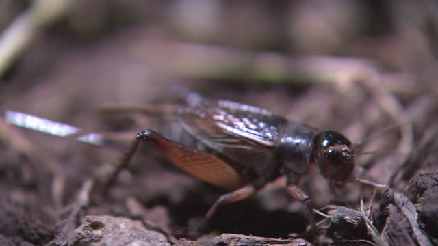 a crawling cricket - cricket insect stock videos and b-roll footage